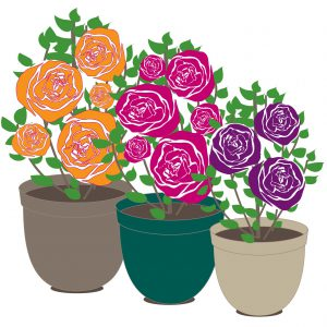 How To Grow Roses In Containers Millbrook Garden Centre