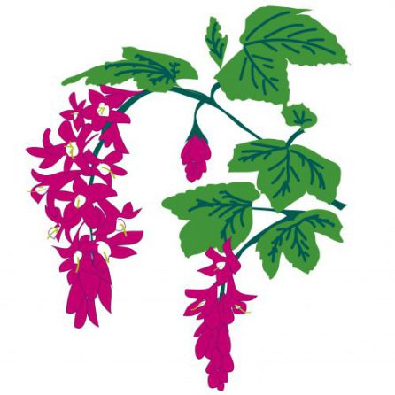 Ribes (Flowering Currants)